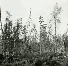 Conditions after clear cut logging at Main Access Road, Aleza Lake Forest Experiment Station