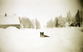 Dog in deep snow