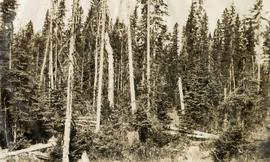 Spruce-Balsam Type Six Years after Logging with No Fresh Reproduction