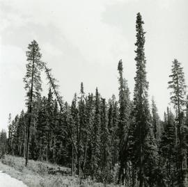 Commercial size Black Spruce and Lodgepole Pine by Main Access Road, Aleza Lake Forest Experiment...