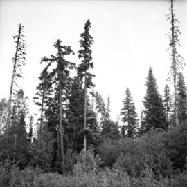 Poor quality Spruce left after diameter cutting at West Branch, Aleza Lake Forest Experiment Station