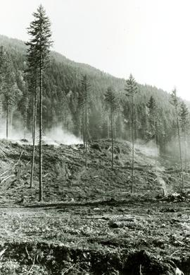 Larch and Douglas fir seed trees and seedbed preparation in Nelson, BC