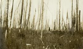 Spruce-Balsam Type Cut Over (1919) and Burned (1920), Sample Plot No. 4 (Hope's), Penny