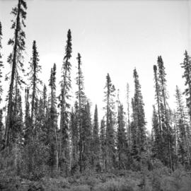 Outline of Black Spruce showing dense crown form at Main Access Road, Aleza Lake Forest Experimen...