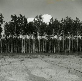 Young aspen on imperfectly drained clay at Prince George Airport Road