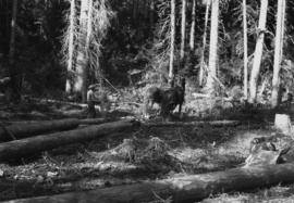 Skidding logs with horses at Aleza Lake Experimental Station