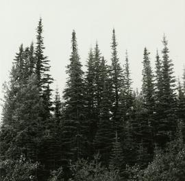 Abies lasiocarpa second growth resulting from advanced regeneration released by logging of spruce in 1940s at Mile 5.5, Hart Highway