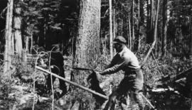 Loggers felling tree with a two-man crosscut saw