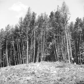 Stand of immature birch on 1922 burn area at Giscome