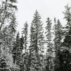 Comb-like form of White Spruce at Nursery Road, Aleza Lake Forest Experiment Station
