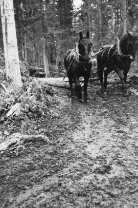 Draft horses pulling logs