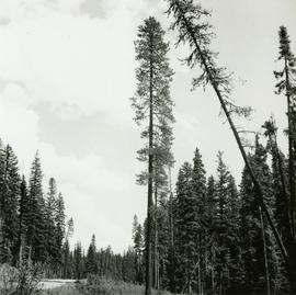 Lodgepole Pine by Main Access Road, Aleza Lake Forest Experiment Station