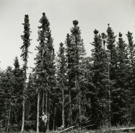 Typical Black Spruce form associated with poorly drained saucer shaped terrain, Prince George Air...
