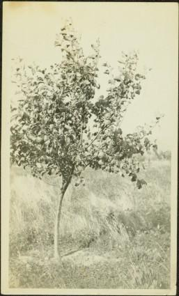 Jean's Apple Tree