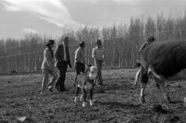 Iona Campagnolo, Jack Horner, and men walking through a cow pasture in Smithers