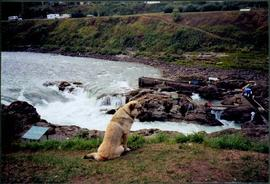Dog by Traditional Fishing Territory at Bulkley River Waterfall