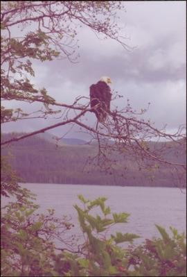 Bald eagle perched on branch above a body of water at Skidegate, BC