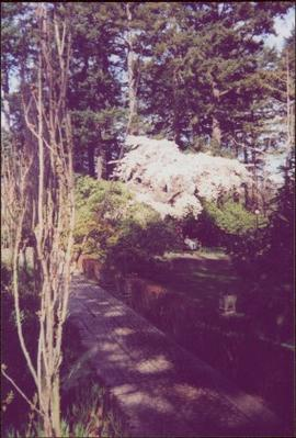 Flowering cherry [?] tree by sidewalk in Terrace Gardens at Government House, Victoria, BC