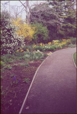 Flowering tree, forsythia, tulips, and lilacs lining path in Terrace Gardens