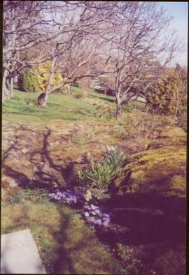 Purple daisies and daffodils between mossy rocks and below trees in Terrace Gardens