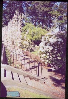 Stairs down to flowering cherry trees and a flowering rhododendron in Terrace Gardens
