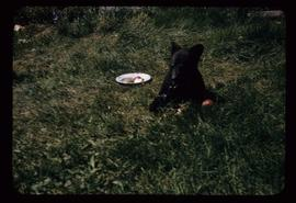 Bear cub eating from plate of apples set in grass