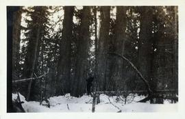 Man surrounded by old-growth forest