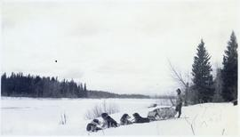 Dogsled team resting in the snow