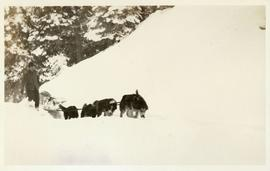 Dogsled team dragging loaded sled through the snow