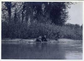 A moose lying on a river bank