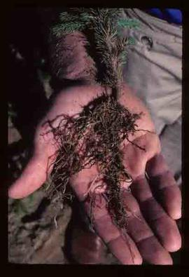 Reforestation - Showing root growth of seedling