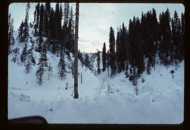 Woods Division - High Lead Logging - View of stand of trees in winter