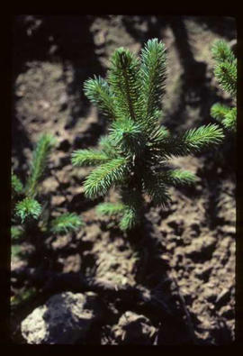 Reforestation - Willow Canyon Nursery - Seedling
