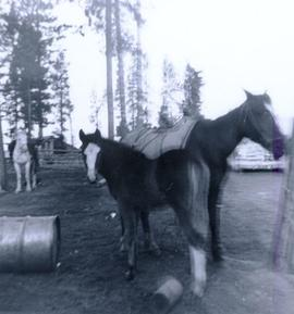 Travel to Anahim Lake, 1952 - Horse and foal