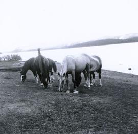 Horses grazing along the lakeshore