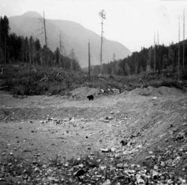 Bear in garbage dump of Gold River logging camp