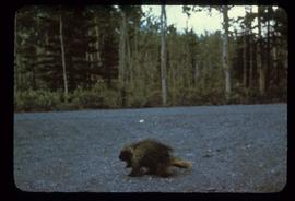 A porcupine crossing a gravel road