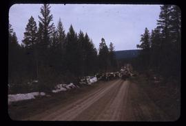 Cattle to [Williams Lake]