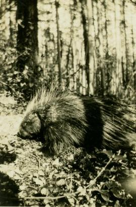 Porcupine in the woods