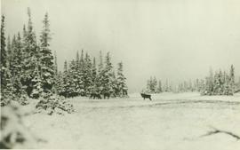 A herd of Caribou on a wintery Ingenika Summit