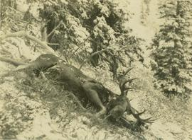 Felled moose on a mountain slope