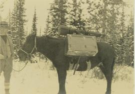 Unidentified man holding the reigns of a pack horse laden with Gray's camera equipment