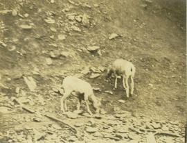 Big horn sheep and lambs at a lakeshore salt lick