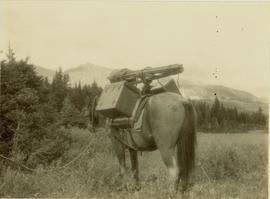 Back view of pack horse laden with Gray's camera equipment