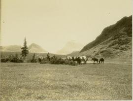 Pack horses grazing on a grassy plateau, north side of Etim Mountain visible in background