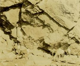 Big horn sheep gathered at a lake shore salt lick