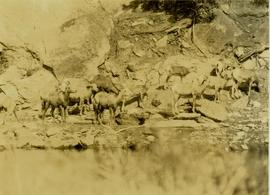 Big horn sheep at a lake shore salt lick