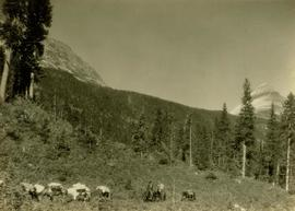 Pack horses traversing a forested mountain slope in the Jarvis Pass area