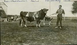 Unidentified man standing with a cow and a calf at a Vanderhoof ranch