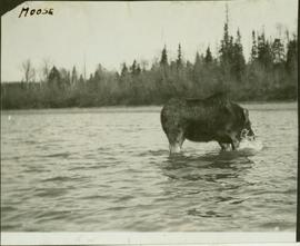Lone moose wading through the river